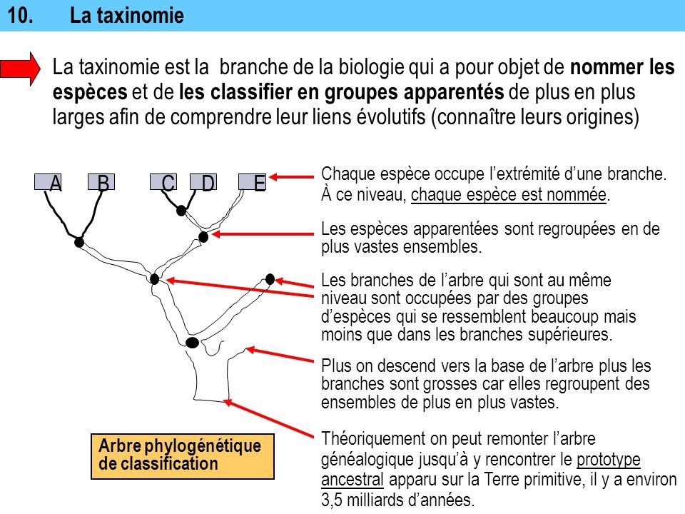 Arbre phylogénétique de classification ABCDE 10.La taxinomie La taxinomie est la branche de la biologie qui a pour objet de nommer les espèces et de l