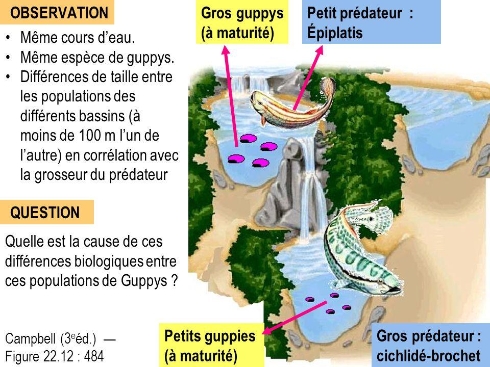 Même cours d'eau. Même espèce de guppys. Différences de taille entre les populations des différents bassins (à moins de 100 m l'un de l'autre) en corr