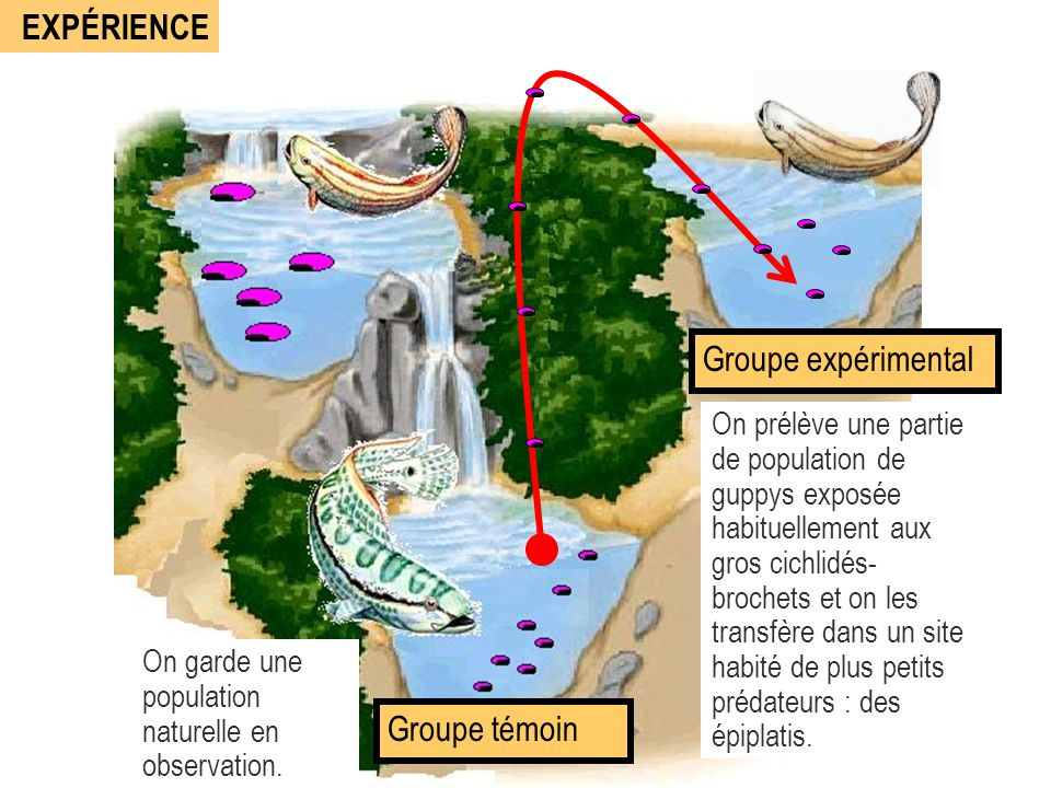 EXPÉRIENCE Groupe expérimental On prélève une partie de population de guppys exposée habituellement aux gros cichlidés- brochets et on les transfère d