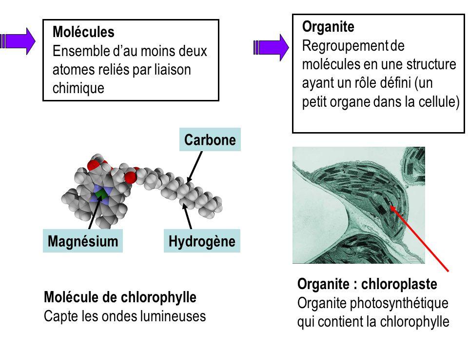 Molécules Ensemble d'au moins deux atomes reliés par liaison chimique Molécule de chlorophylle Capte les ondes lumineuses HydrogèneMagnésium Carbone O