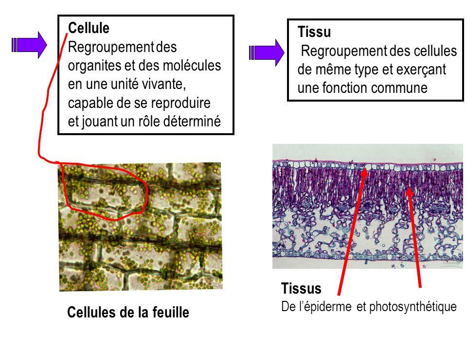 Cellule Regroupement des organites et des molécules en une unité vivante, capable de se reproduire et jouant un rôle déterminé Cellules de la feuille