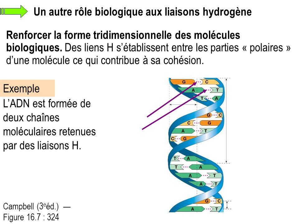 Renforcer la forme tridimensionnelle des molécules biologiques. Des liens H s'établissent entre les parties « polaires » d'une molécule ce qui contrib