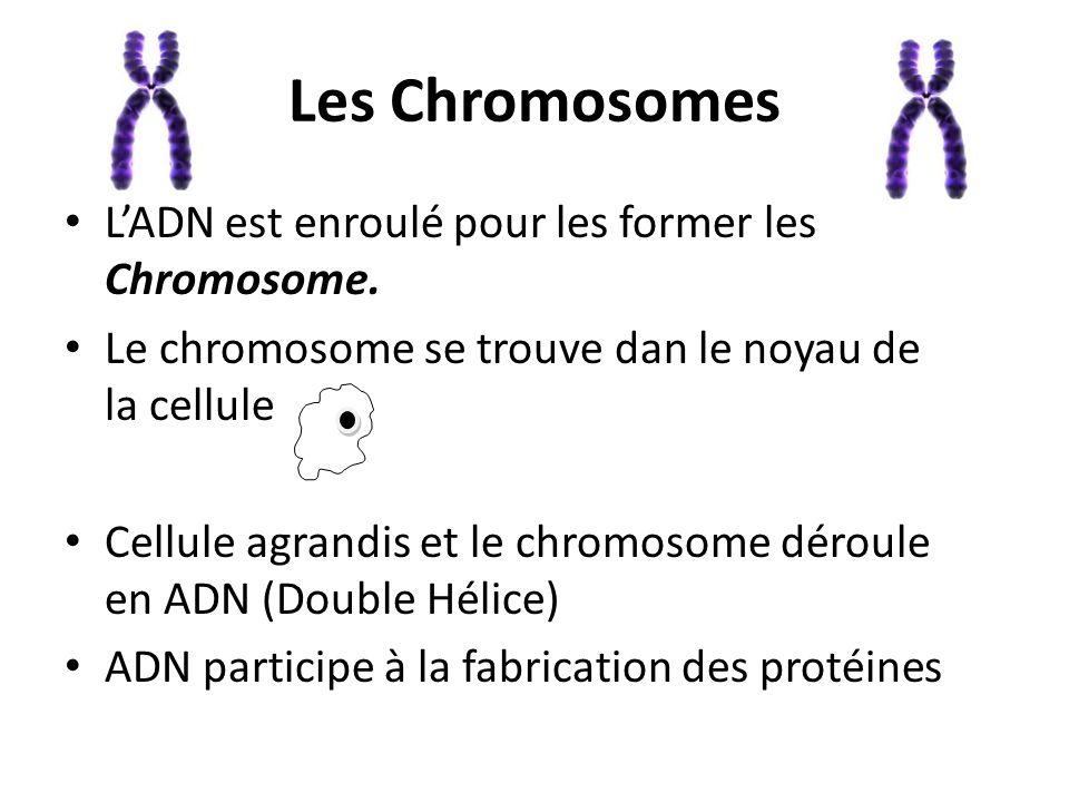 Les Chromosomes L'ADN est enroulé pour les former les Chromosome. Le chromosome se trouve dan le noyau de la cellule Cellule agrandis et le chromosome