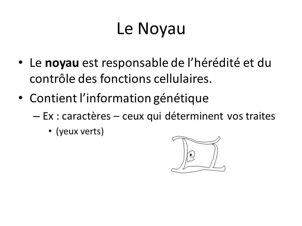Le Noyau Le noyau est responsable de l'hérédité et du contrôle des fonctions cellulaires. Contient l'information génétique – Ex : caractères – ceux qu