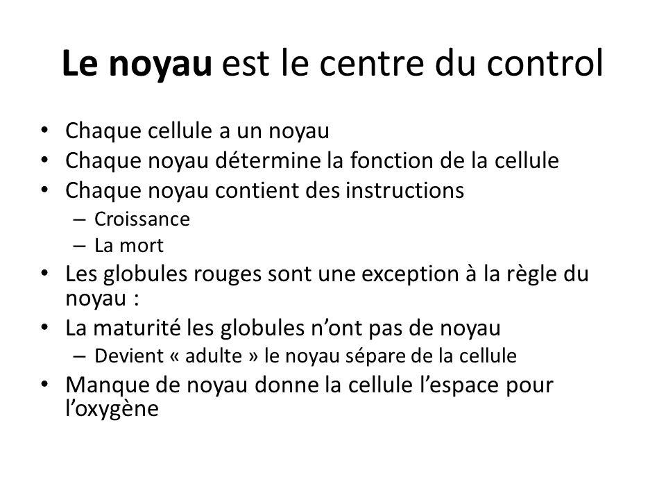 Le noyau est le centre du control Chaque cellule a un noyau Chaque noyau détermine la fonction de la cellule Chaque noyau contient des instructions –