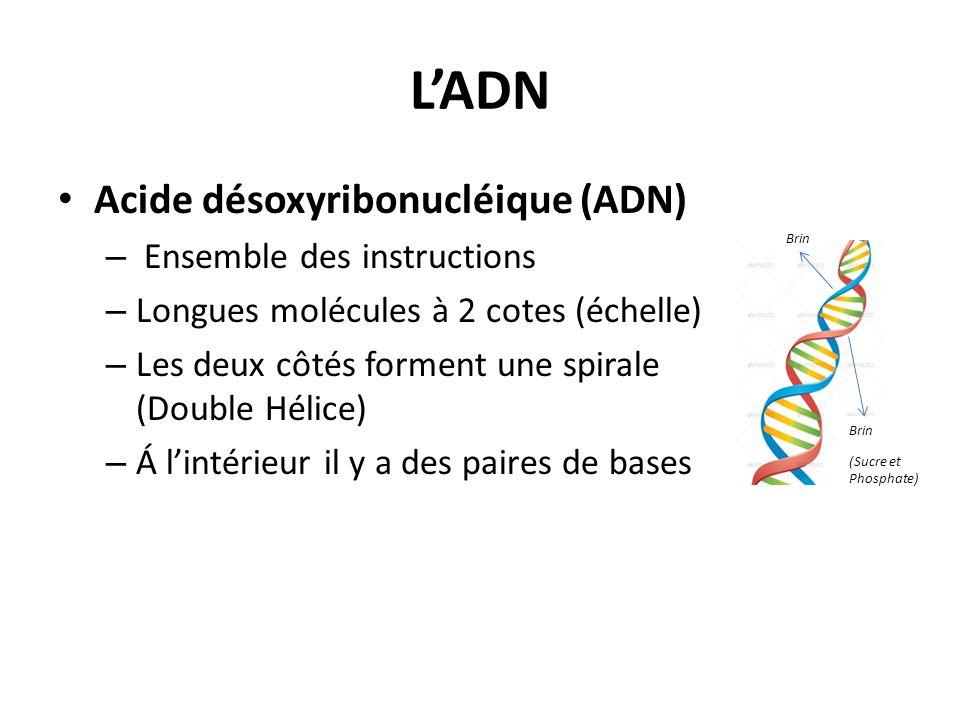 L'ADN Acide désoxyribonucléique (ADN) – Ensemble des instructions – Longues molécules à 2 cotes (échelle) – Les deux côtés forment une spirale (Double
