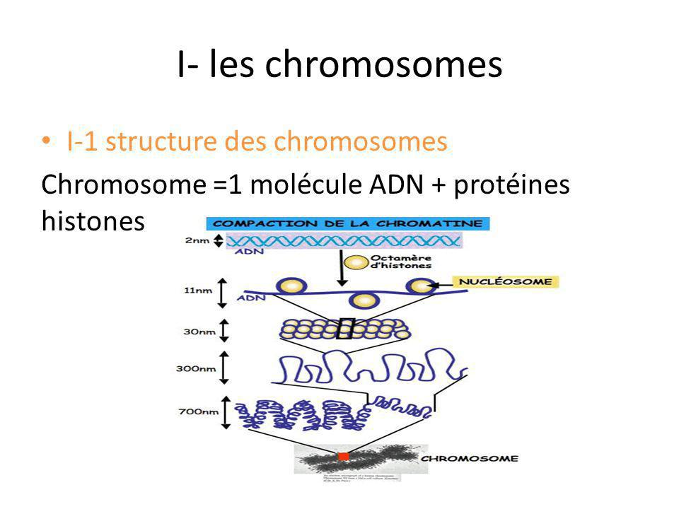 Caryotype: trisomie 21 libre