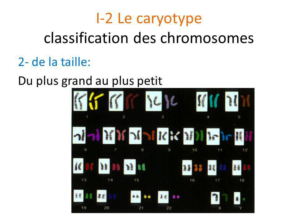 I-2 Le caryotype classification des chromosomes 2- de la taille: Du plus grand au plus petit