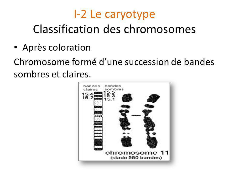 I-2 Le caryotype Classification des chromosomes Après coloration Chromosome formé d'une succession de bandes sombres et claires.
