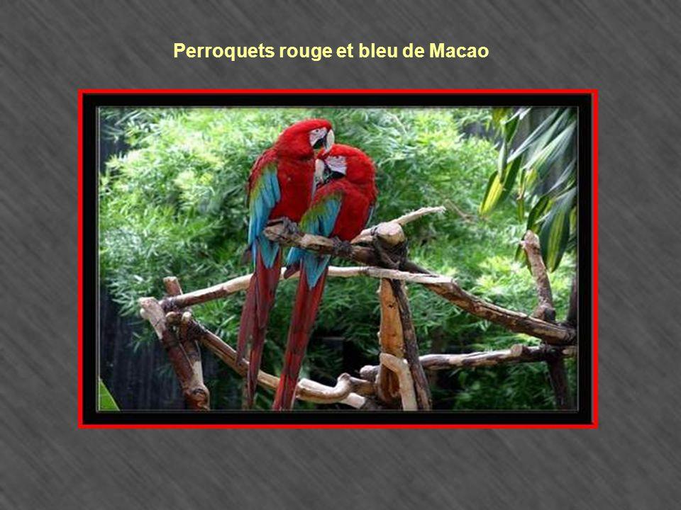 Perroquets rouge et bleu de Macao