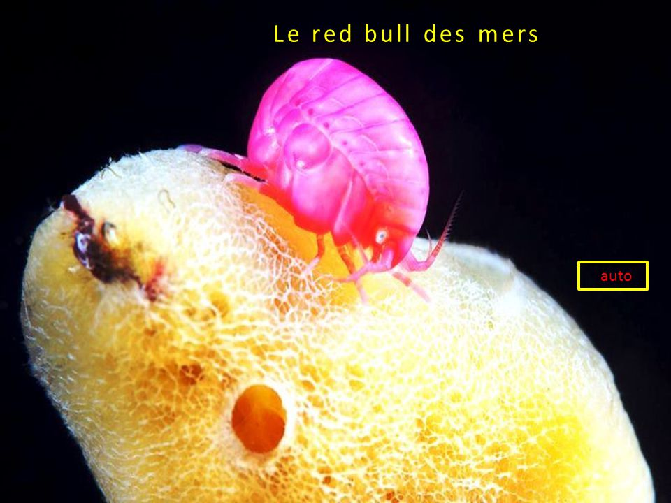 Le red bull des mers red auto