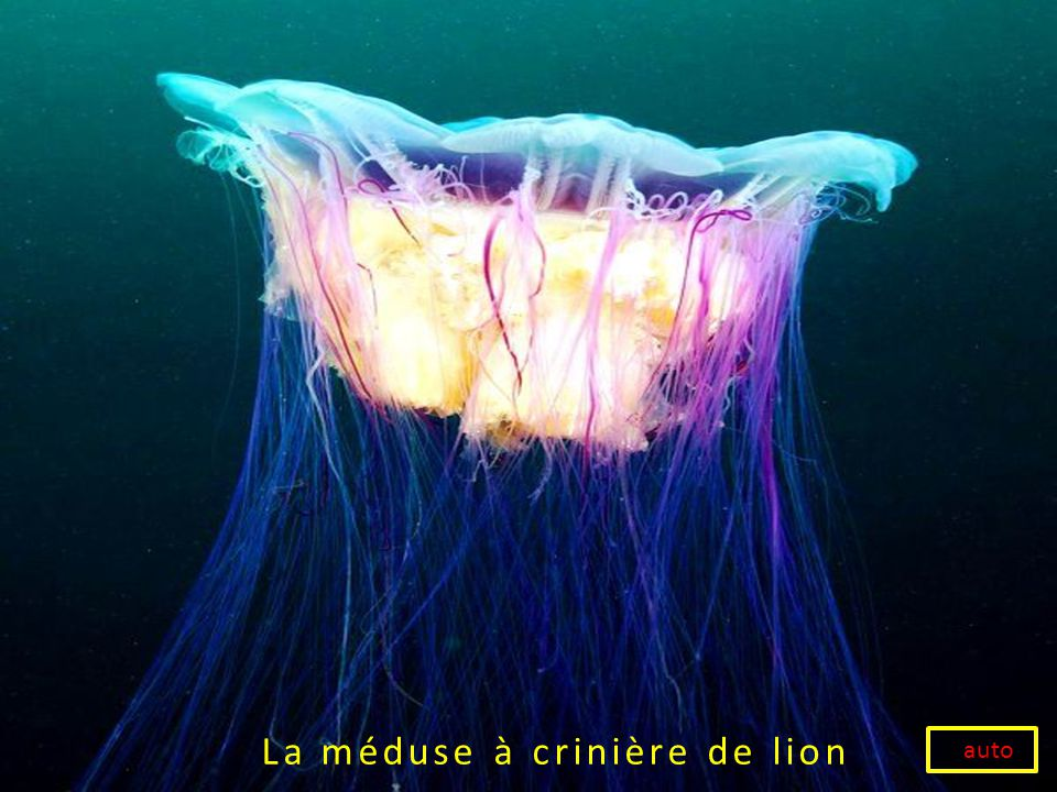 La méduse à crinière de lion auto