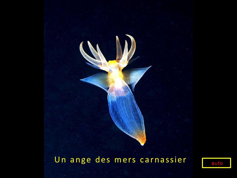 Un ange des mers carnassier auto