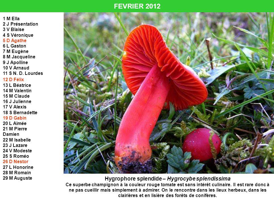 FEVRIER 2012 Hygrophore splendide – Hygrocybe splendissima Ce superbe champignon à la couleur rouge tomate est sans intérêt culinaire. Il est rare don