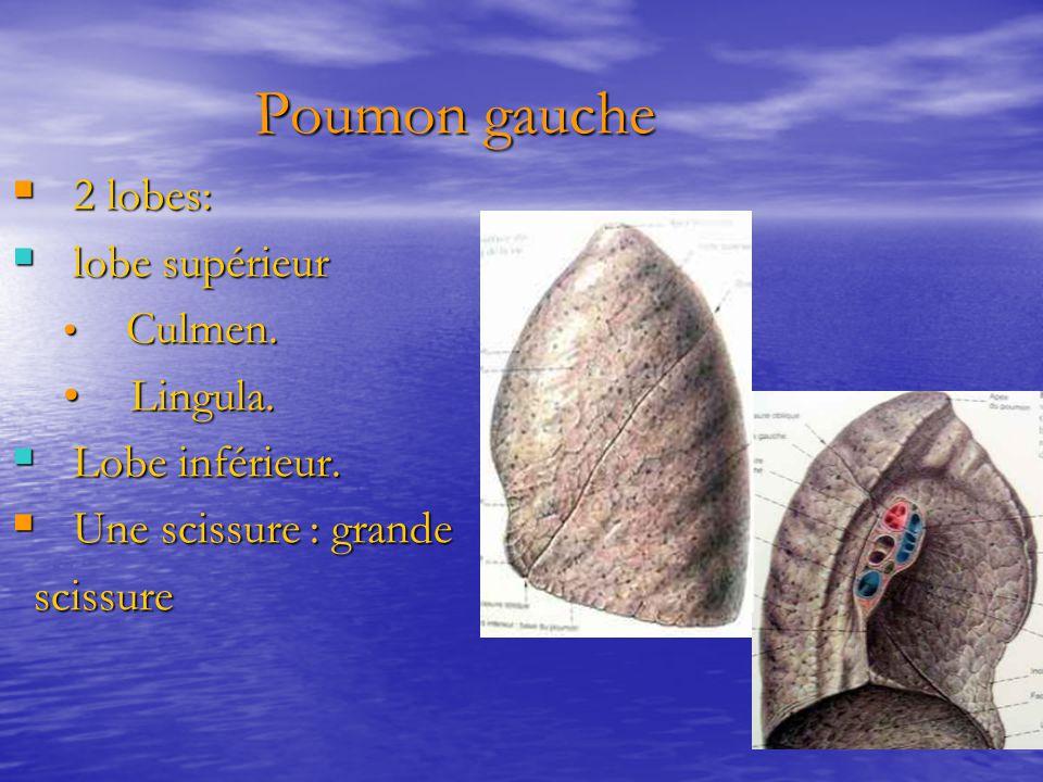 Poumon gauche Poumon gauche  2 lobes:  lobe supérieur Culmen. Culmen. Lingula. Lingula.  Lobe inférieur.  Une scissure : grande scissure scissure