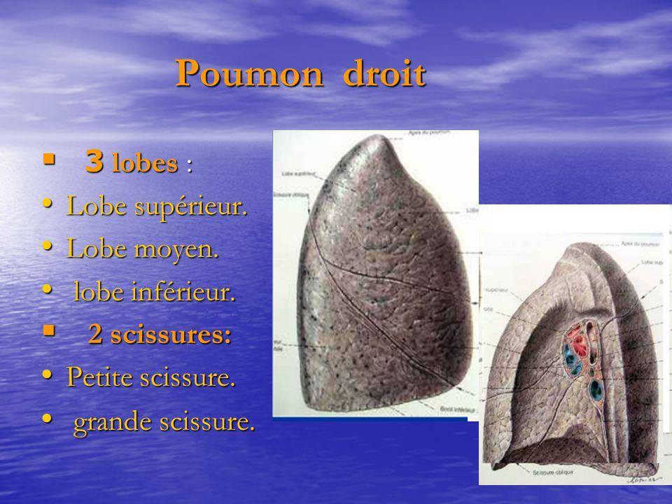 Poumon droit Poumon droit  3 lobes : Lobe supérieur. Lobe supérieur. Lobe moyen. Lobe moyen. lobe inférieur. lobe inférieur.  2 scissures: Petite sc
