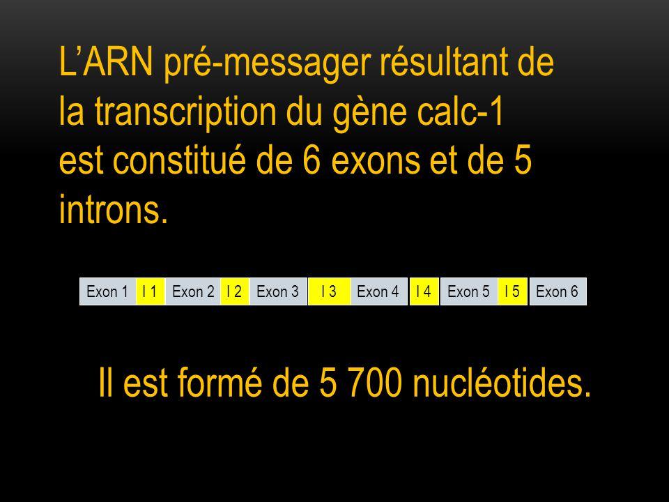 Exon 1 Exon 2Exon 3Exon 4Exon 5Exon 6I 1I 5I 4 I 3 I 2 Il est formé de 5 700 nucléotides.