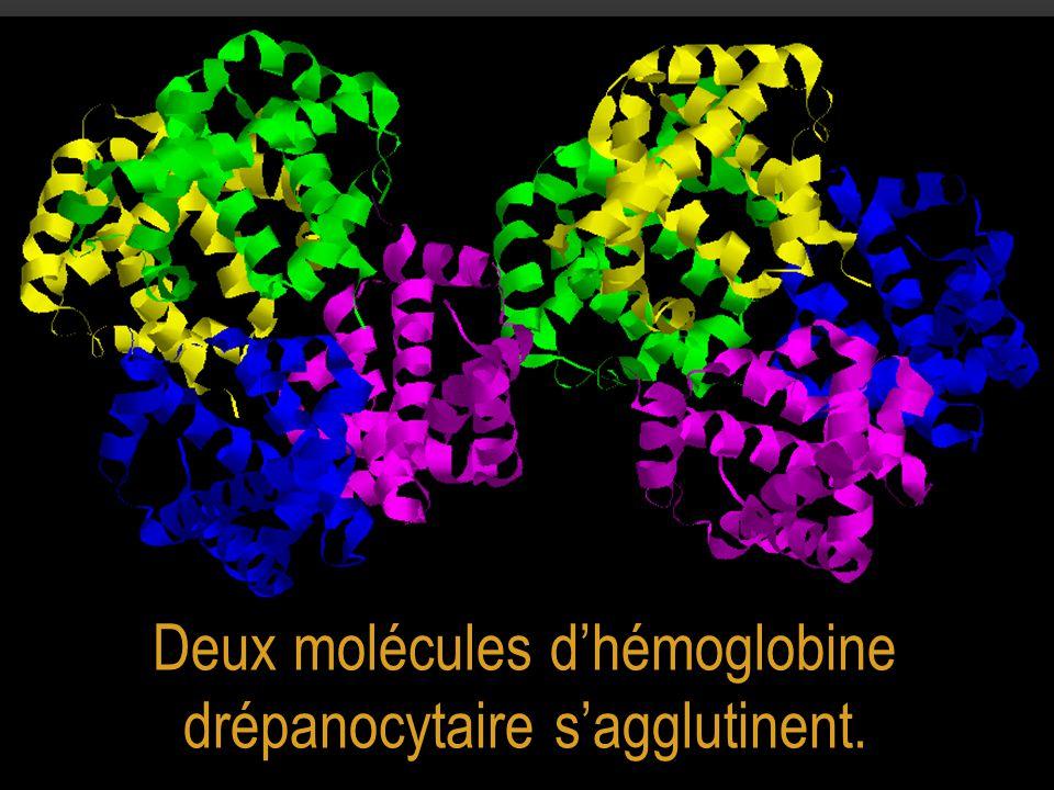 Deux molécules d'hémoglobine drépanocytaire s'agglutinent.