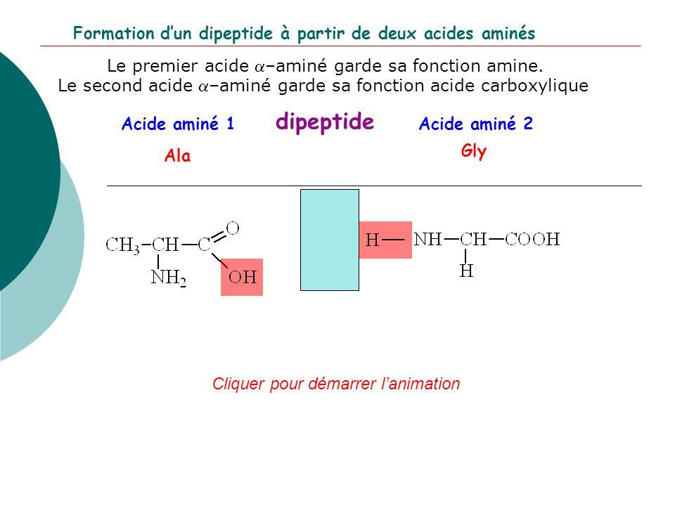 Acide aminé 2Acide aminé 1 dipeptide Ala Gly Cliquer pour démarrer l'animation Formation d'un dipeptide à partir de deux acides aminés Le premier acid
