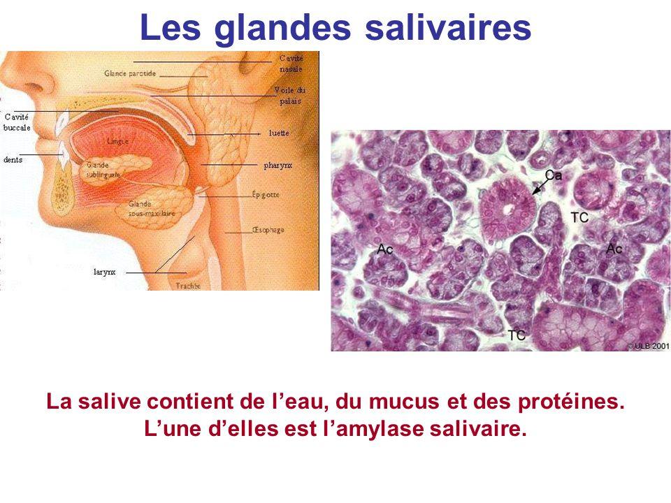 Les glandes salivaires La salive contient de l'eau, du mucus et des protéines. L'une d'elles est l'amylase salivaire.