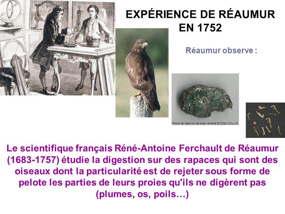 EXPÉRIENCE DE RÉAUMUR EN 1752 Le scientifique français Réné-Antoine Ferchault de Réaumur (1683-1757) étudie la digestion sur des rapaces qui sont des oiseaux dont la particularité est de rejeter sous forme de pelote les parties de leurs proies qu ils ne digèrent pas (plumes, os, poils…) Réaumur observe : Pelote de réjection de buse variable © Didier COLLIN