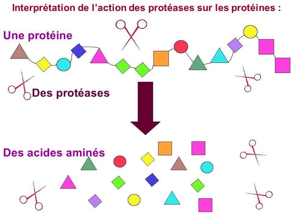 Interprétation de l'action des protéases sur les protéines : Une protéine Des acides aminés Des protéases