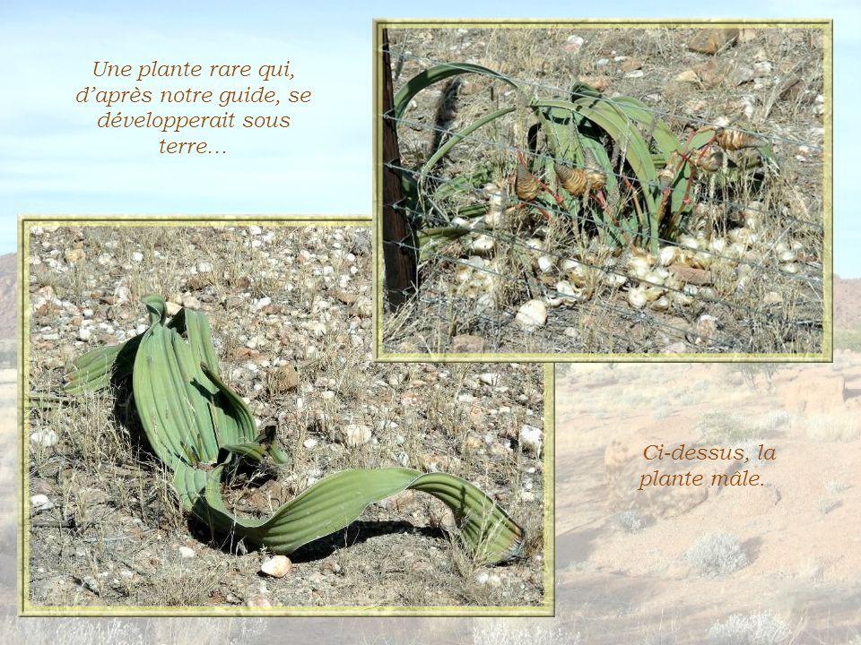 Ce qui fascine dans la flore de la Namibie, ce n est pas tant sa diversité que le nombre incroyable d espèces qui se sont adaptées pour survivre dans les zones arides… Certaines plantes qui survivent dans le désert absorbent l eau par leurs feuilles, alors que d autres ont un réseau très développé de racines peu profondes, ce qui leur permet de capter l humidité répandue par le brouillard… Et il y a toujours ce grand nombre d'épineux et quelques arbres qui pompent l'eau de rivières souterraines.