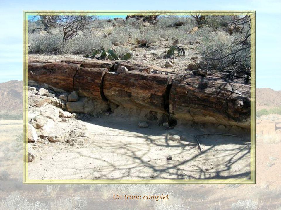 Soudain apparaissent des fragments de roche comme jetés au hasard… Ce ne sont pas des roches mais des tronc d'arbres fossiles.