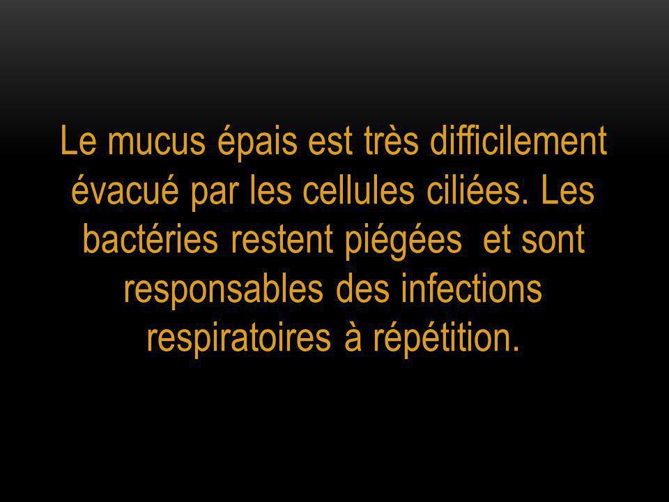 Le mucus épais est très difficilement évacué par les cellules ciliées. Les bactéries restent piégées et sont responsables des infections respiratoires