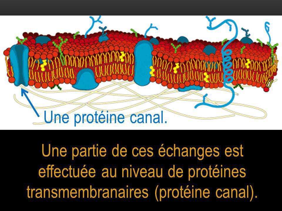 Une partie de ces échanges est effectuée au niveau de protéines transmembranaires (protéine canal). Une protéine canal.