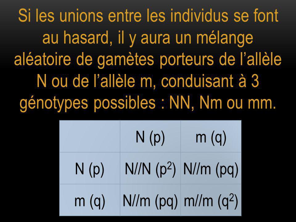 Si les unions entre les individus se font au hasard, il y aura un mélange aléatoire de gamètes porteurs de l'allèle N ou de l'allèle m, conduisant à 3
