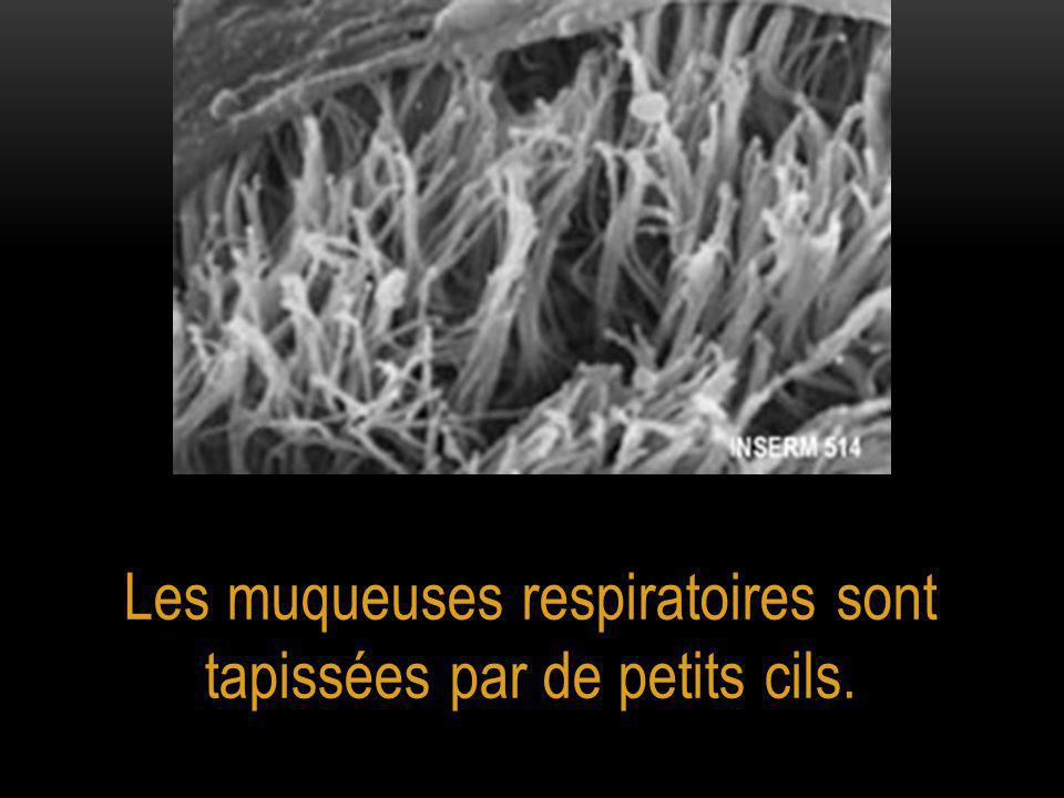 Les muqueuses respiratoires sont tapissées par de petits cils.