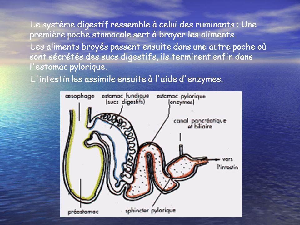 Le système digestif ressemble à celui des ruminants : Une première poche stomacale sert à broyer les aliments. Les aliments broyés passent ensuite dan
