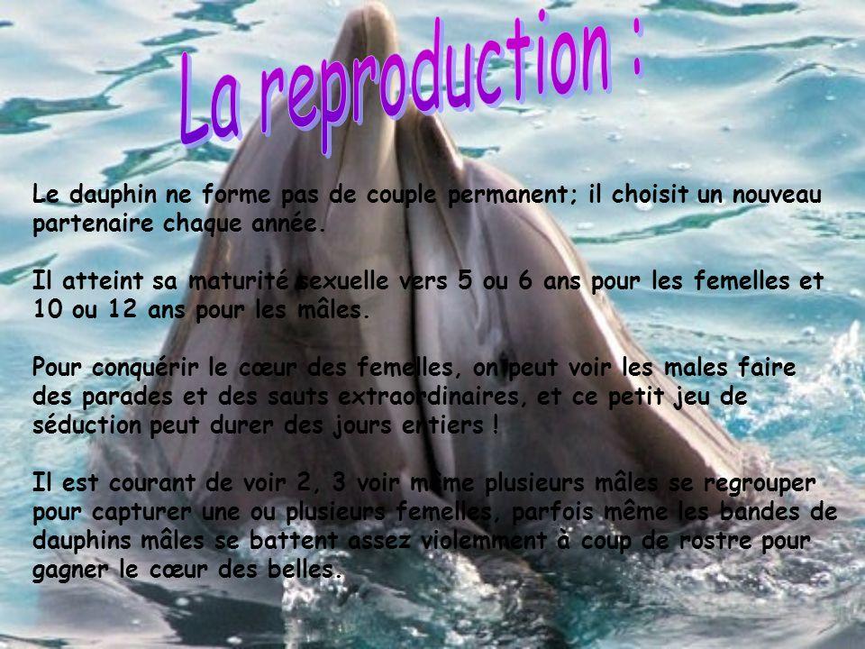 Le dauphin ne forme pas de couple permanent; il choisit un nouveau partenaire chaque année. Il atteint sa maturité sexuelle vers 5 ou 6 ans pour les f