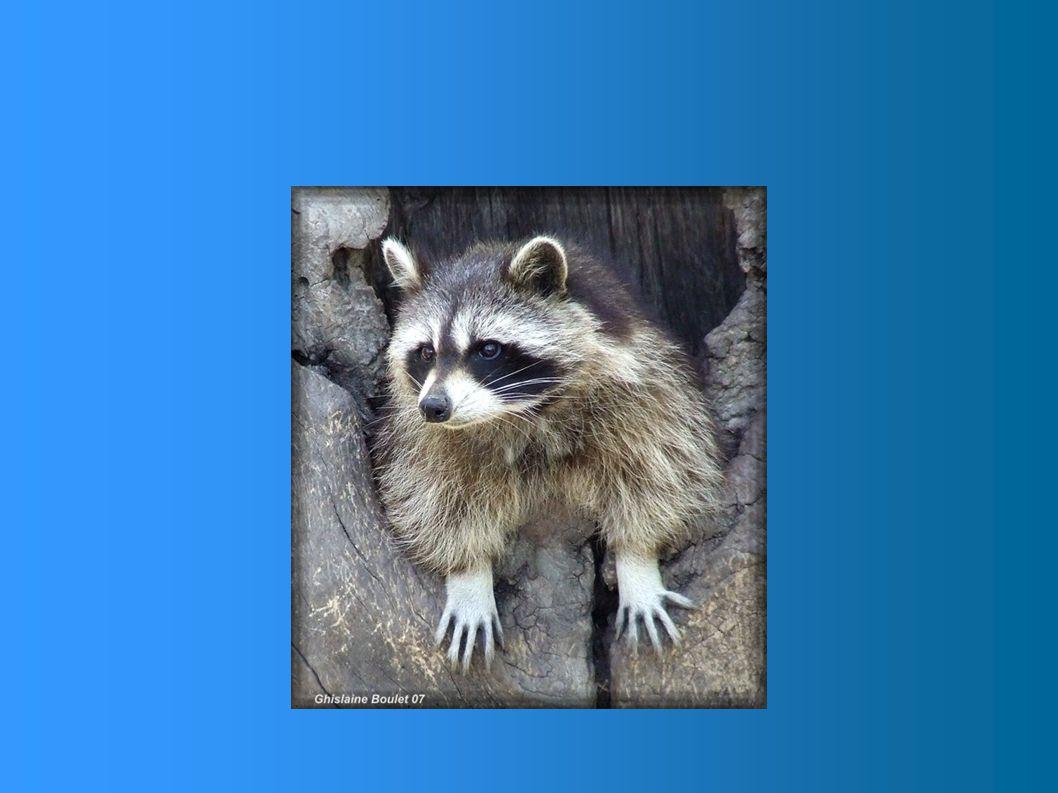 Ce petit bandit masqué aménage sa cabane le plus souvent dans le creux d'un arbre mort ou sous une vieille souche. Mais s'il repère un endroit tout au