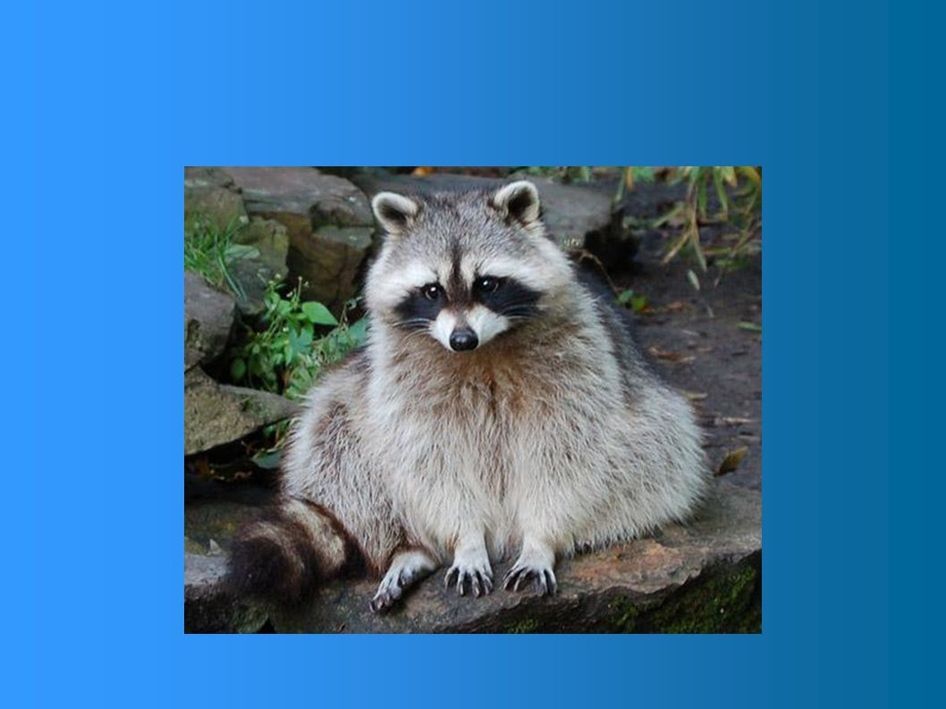 Curieux et intelligent, voilà une bonne façon de qualifier cet animal à la démarche plutôt malhabile et lente.