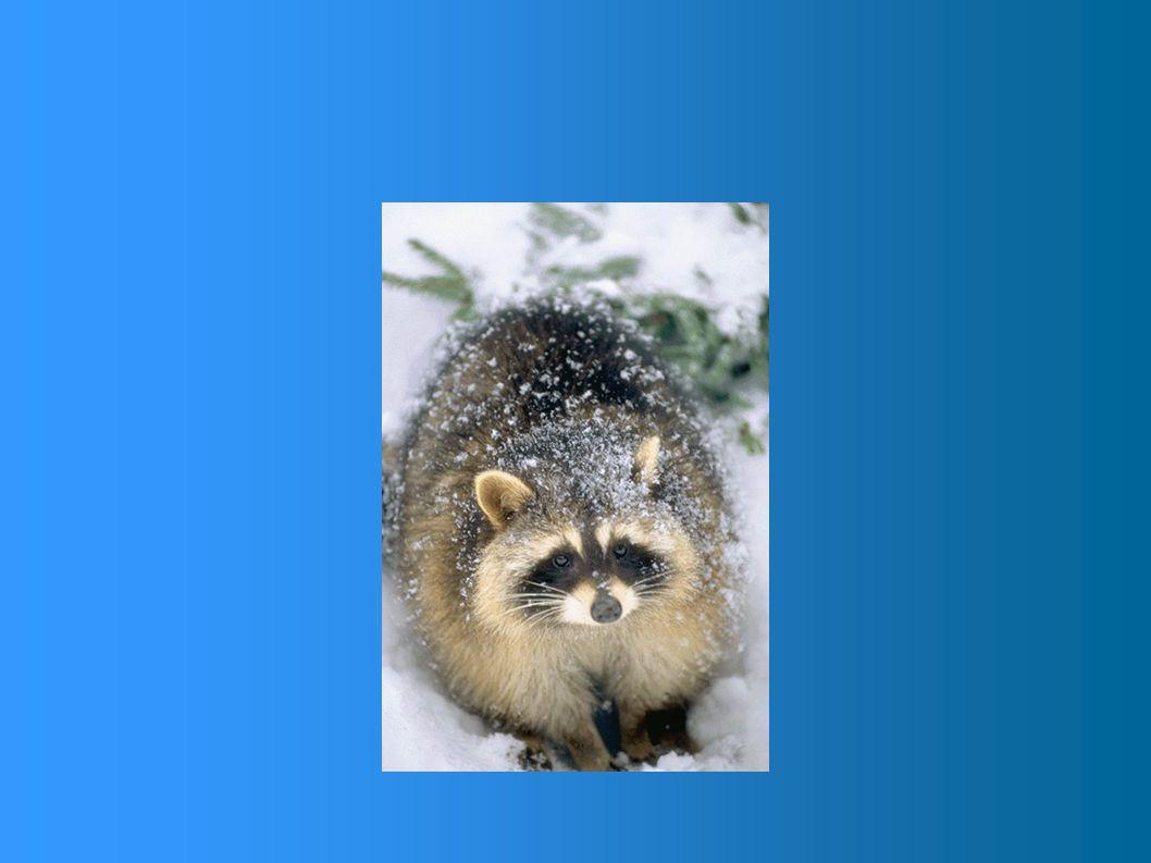 À l'état sauvage, le raton laveur vit entre 10 et 12 ans alors qu'en captivité, n'ayant pas à affronter les hivers rigoureux et à faire face aux préda