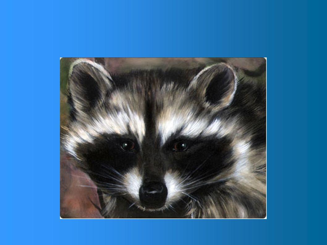 Mensurations ? La femelle est à peine plus petite que le mâle. Longueur totale:60cm à 95cm Longueur de la queue:20cm à 30cm Hauteur au garrot: environ