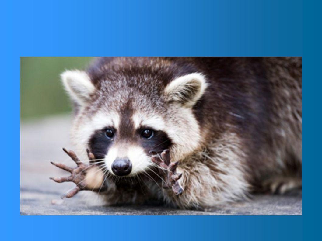 Poids ? Habituellement, les femelles sont plus petites que les mâles. Poids des adultes: 5kg à 16kg Poids des nouveaux-nés:55g à 85g
