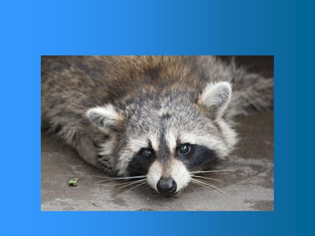 Le raton laveur a un corps trapu, une tête large et un museau pointu. Ses oreilles sont écartées, larges et arrondies. Ses yeux rapprochés, entourés d