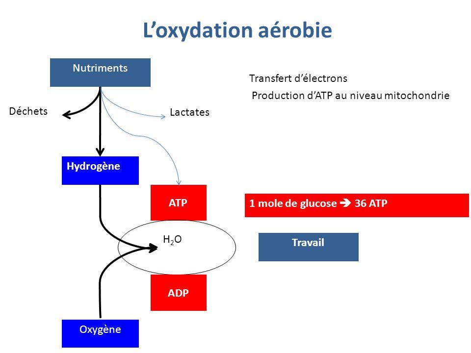 L'oxydation aérobie Nutriments Hydrogène Déchets Lactates Oxygène H2OH2O ATP Travail Transfert d'électrons Production d'ATP au niveau mitochondrie ADP