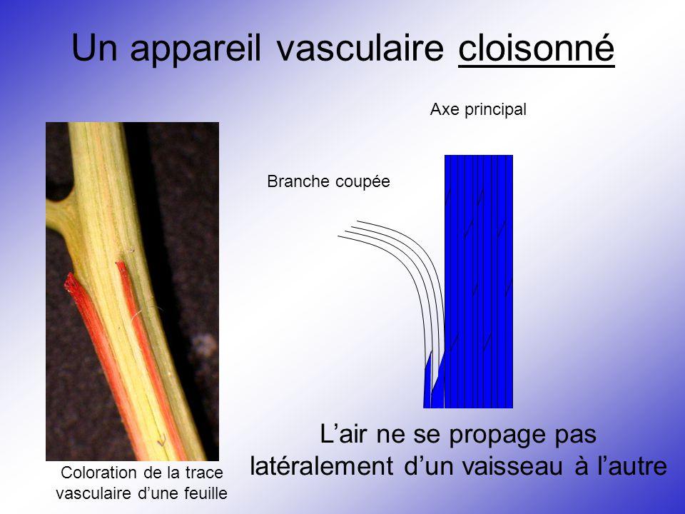Un appareil vasculaire cloisonné Axe principal Branche coupée L'air ne se propage pas latéralement d'un vaisseau à l'autre Coloration de la trace vasc
