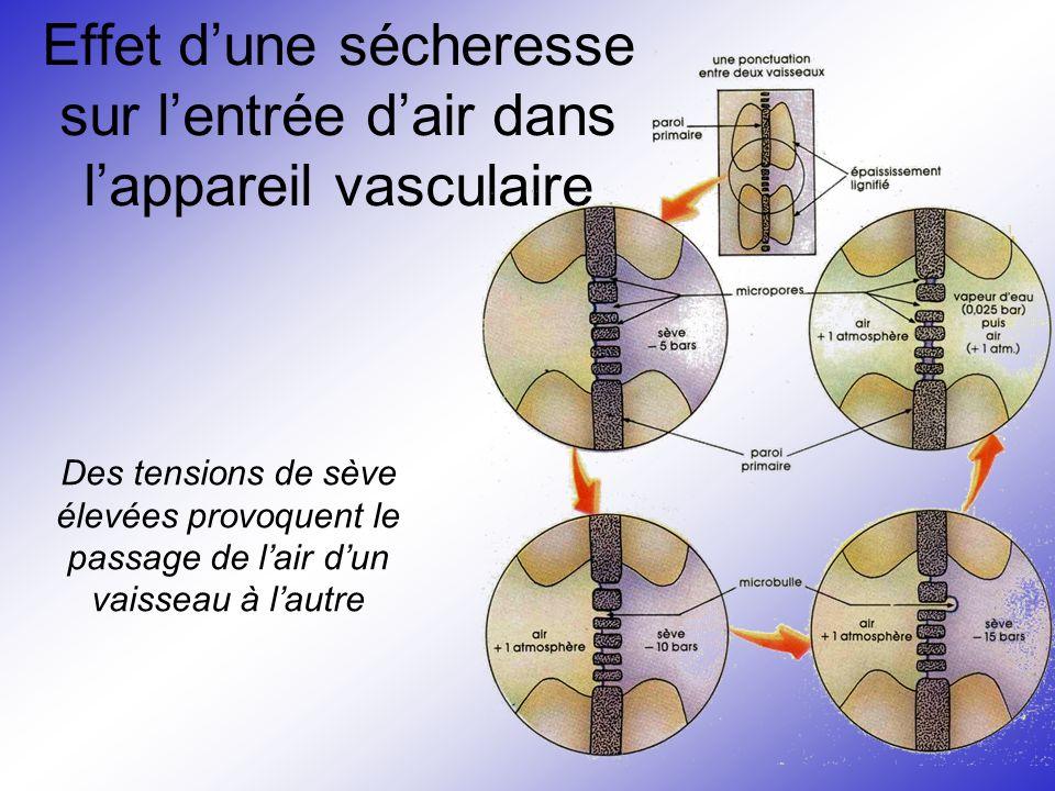 Effet d'une sécheresse sur l'entrée d'air dans l'appareil vasculaire Des tensions de sève élevées provoquent le passage de l'air d'un vaisseau à l'aut