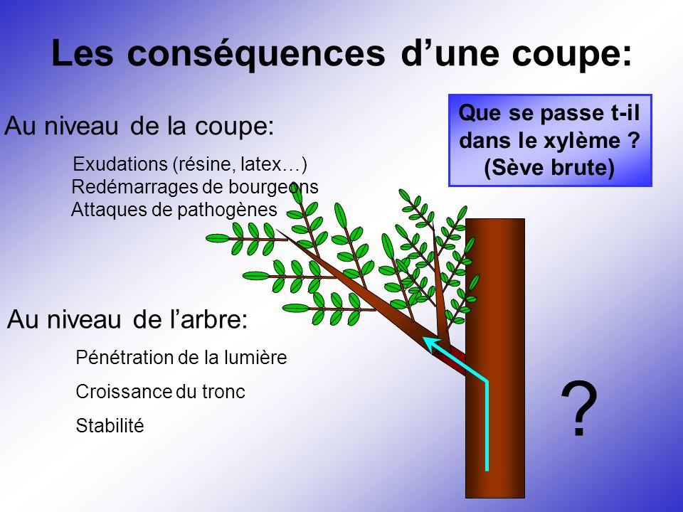 Les conséquences d'une coupe: Au niveau de la coupe: Exudations (résine, latex…) Au niveau de l'arbre: Pénétration de la lumière Croissance du tronc S