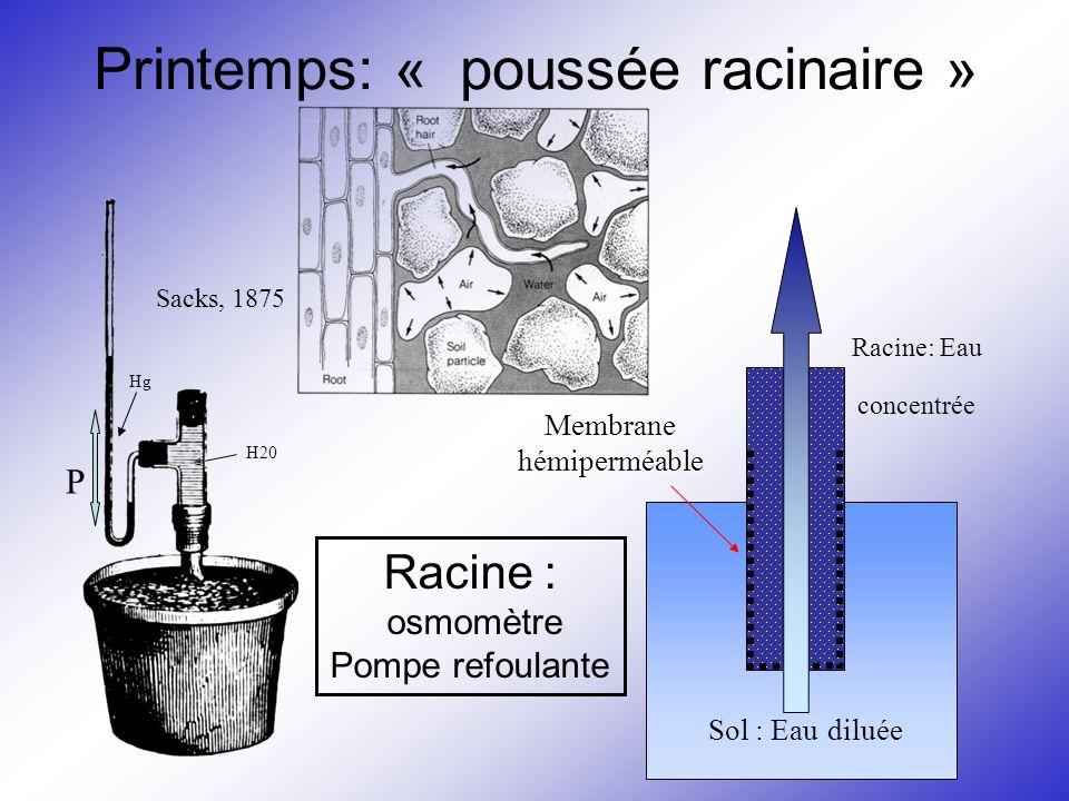 Printemps: « poussée racinaire » Hg H20 Sacks, 1875 P Sol : Eau diluée Racine: Eau concentrée Membrane hémiperméable Racine : osmomètre Pompe refoulan