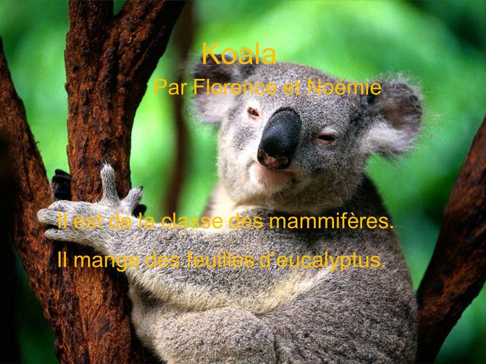 Koala Par Florence et Noémie Il est de la classe des mammifères.