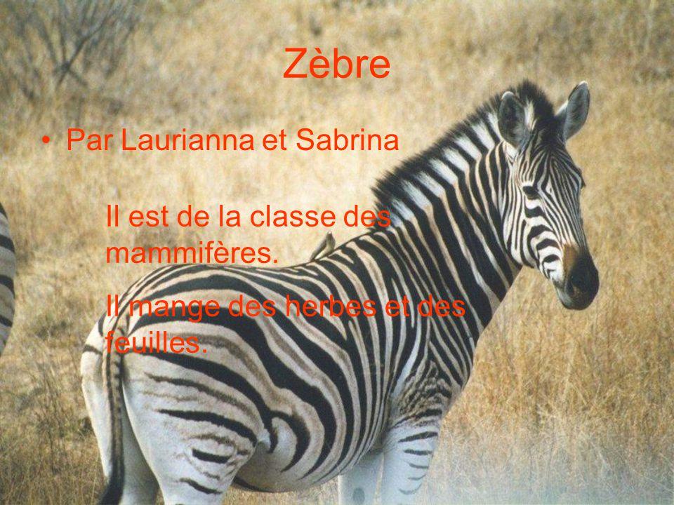 Zèbre Par Laurianna et Sabrina Il est de la classe des mammifères.