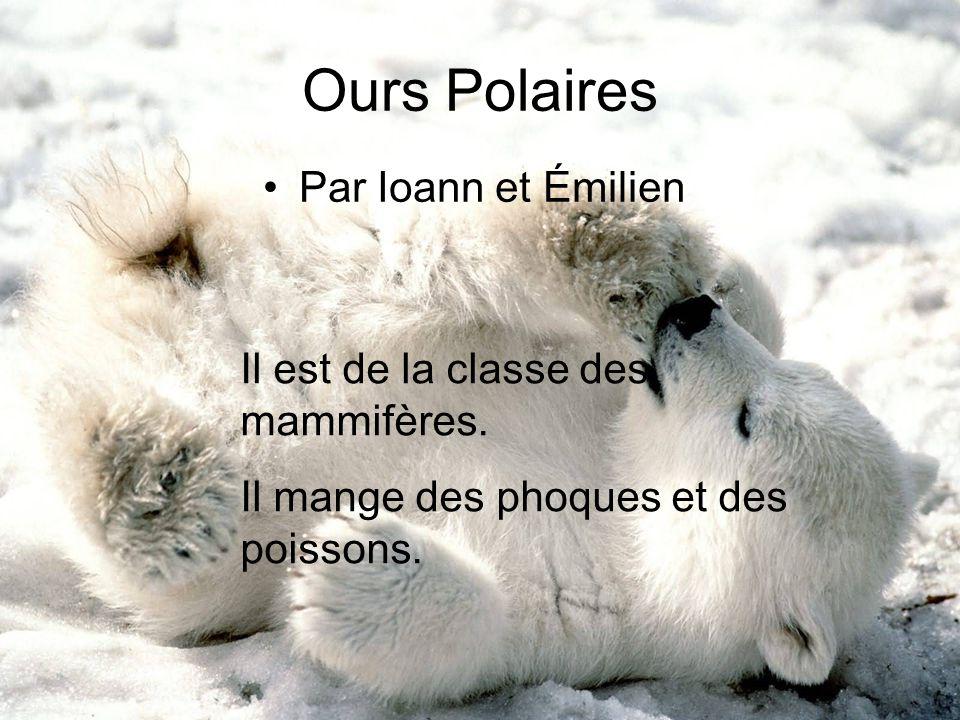 Ours Polaires Par Ioann et Émilien Il est de la classe des mammifères.