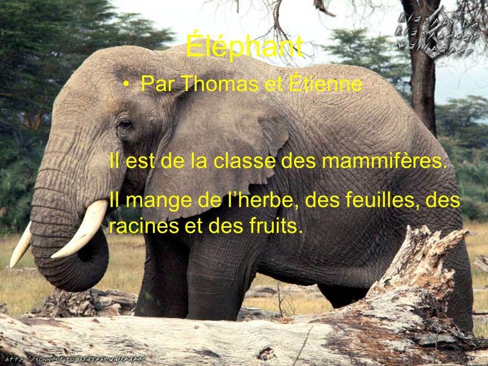 Éléphant Par Thomas et Étienne Il est de la classe des mammifères.