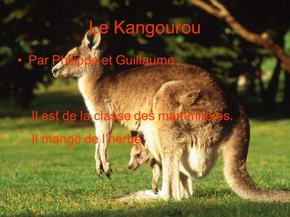 Le Kangourou Par Philippe et Guillaume Il est de la classe des mammifères. Il mange de l'herbe.